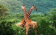 . mayor conocimiento acerca de los animales salvajes y que reconozcan las . (jirafas en la sabana en su habitat natural paisajes de africa animales enormes)