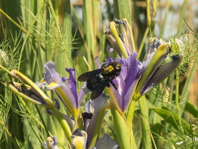 ape legnaiola (Xylocopa violacea) e Iris