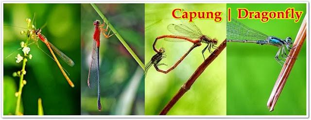 Dragonfly, Capung, Ischnura Senegalensis, Capung Jarum, Kinjeng Dom | Pacapaku