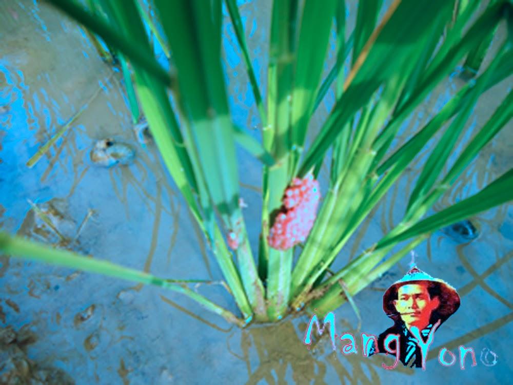 Telur Keong mas di pohon padi