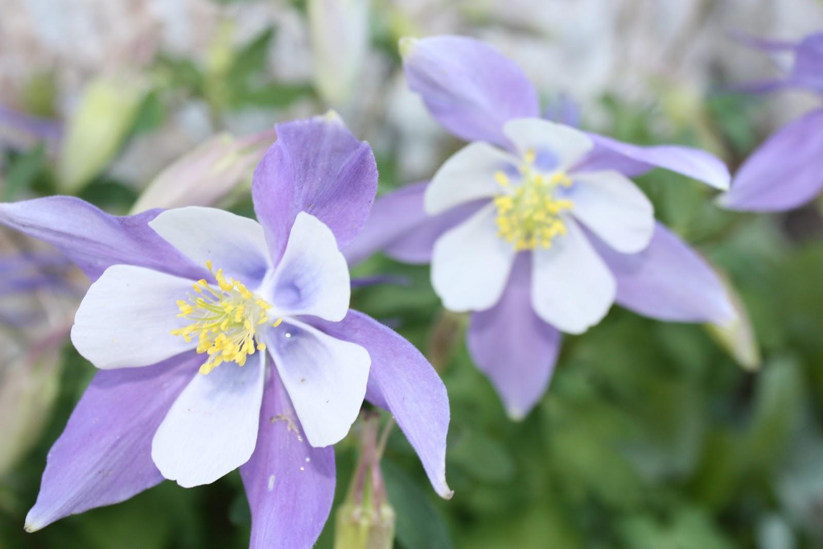 Aspirin And Boku Maru Colorado Wildflowers