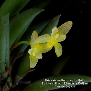 Acianthera leptotifolia do blogdabeteorquideas