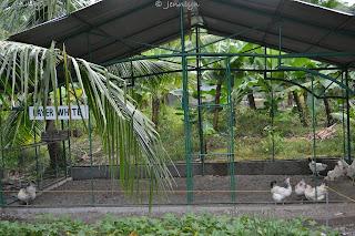 layer white chicken of garin farm