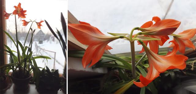 Цветок - амариллис