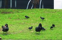 Cisne negro y gallineta enlutada