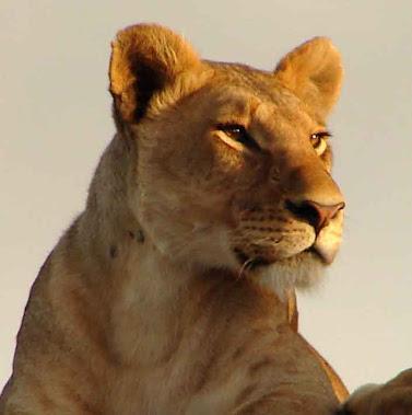 Hembra del león.Mujer audaz, imperiosa y valiente