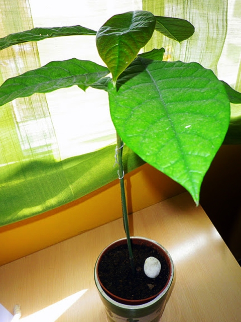 Plantar un aguacate en la cocina taringa for Como cultivar aguacate