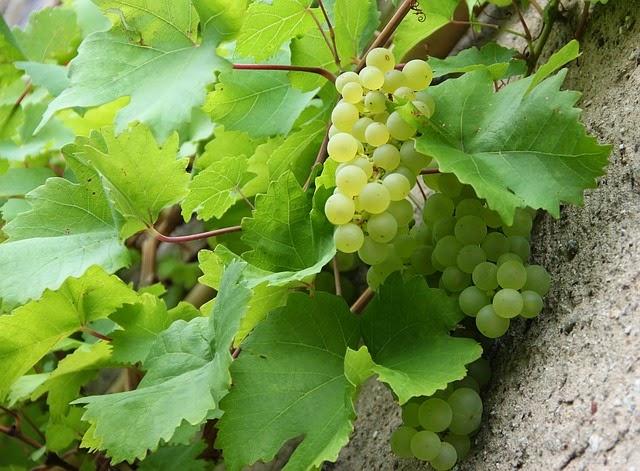 Anggur Buah Termanis Di Dunia