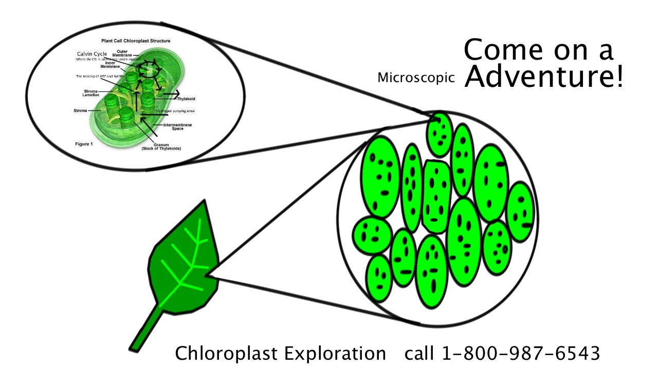 chloroplast tour guide Associates with pre-ribosomal particles in chloroplasts, and participates in chloroplast ribosomal rna metabolism, probably during the final steps of 23s rrna wall cytoskeleton vacuole chloroplast endosome peroxisome er golgi apparatus nucleus mitochondrion manual annotation automatic computational assertion.