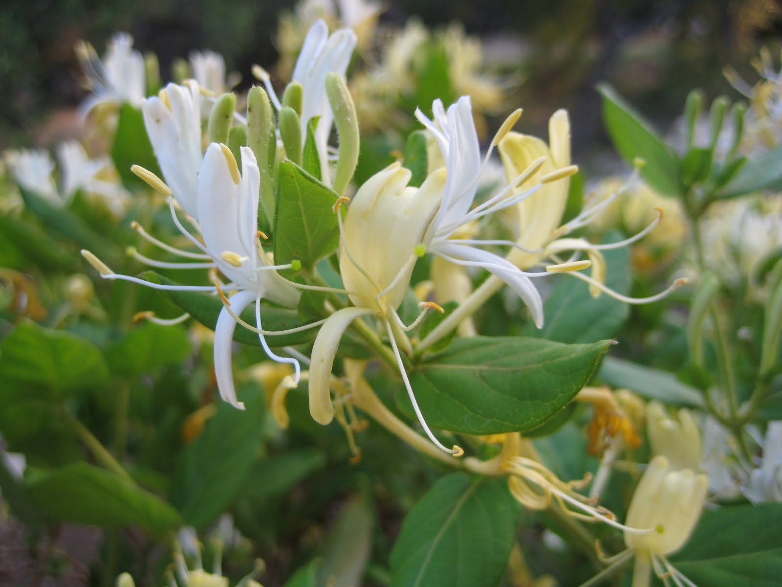 Every Time I Go Outside I Smell The Lovely Delicate Blooms That Havee  With Spring I Got To Thinking About What I Could Possibly Make With  Honeysuckle