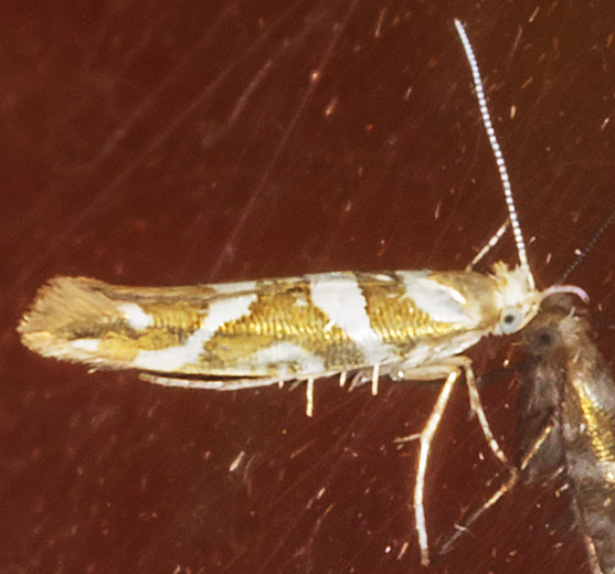 Argyresthia goerdartella.  Argyresthiidae.   Crowborough, July 2014.