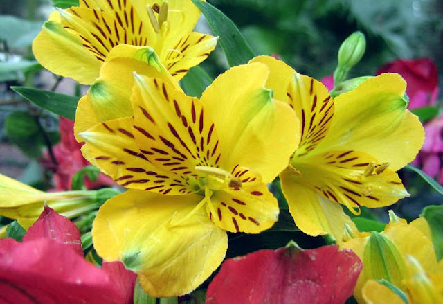 alstroemeria coloring pages - photo#44