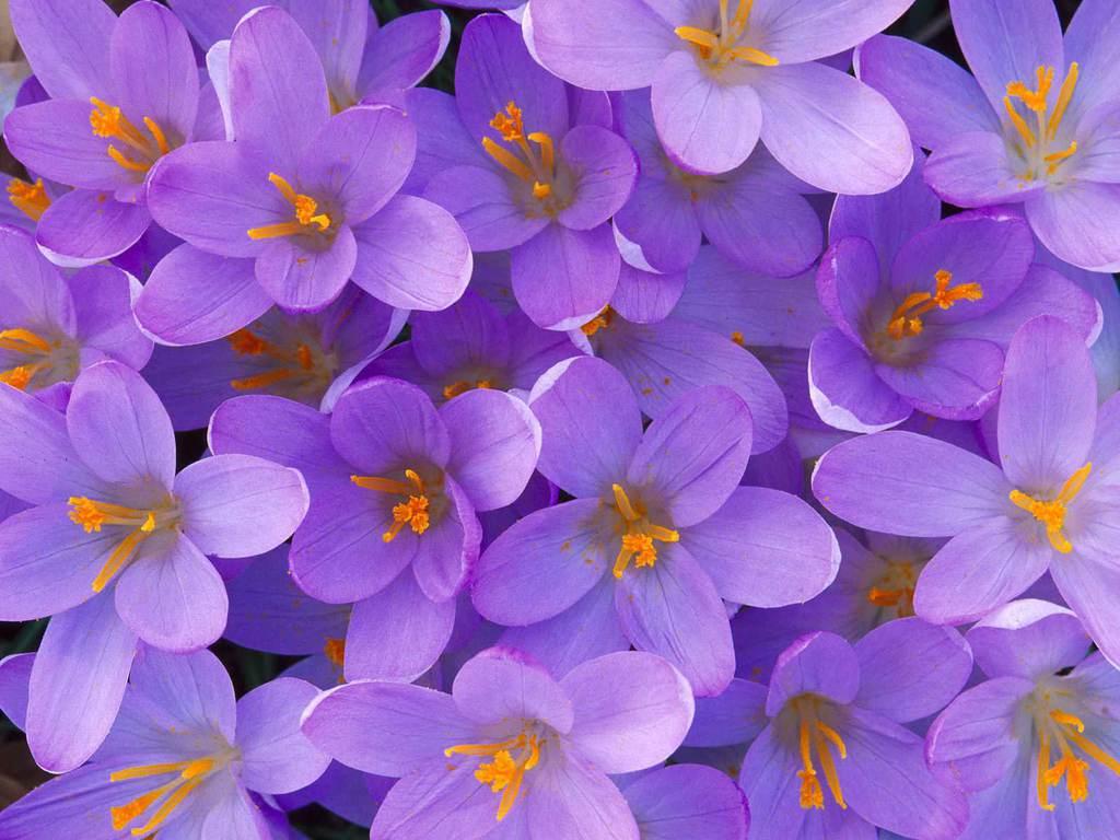 flower photos light purple flower