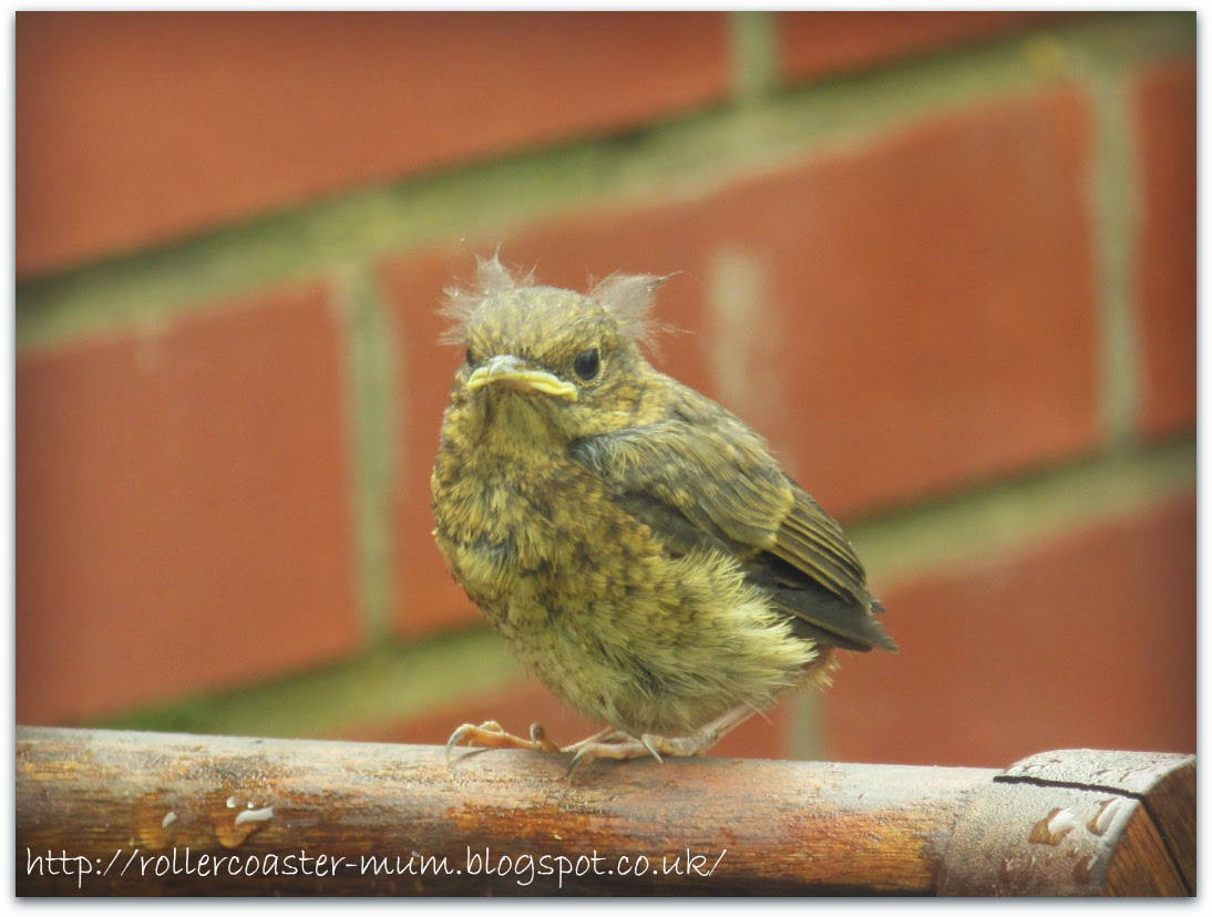 fluffy baby Blackbird