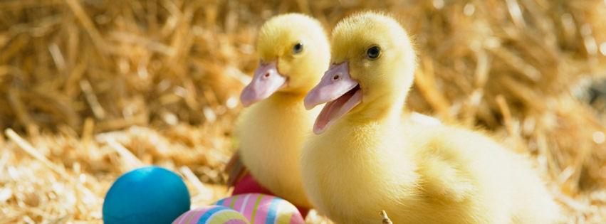 Ducklings pair facebook cover