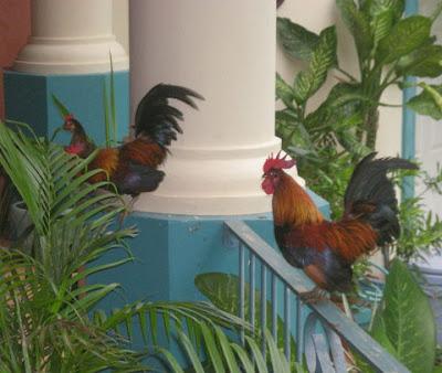 Bantam roosters, La Ceiba, Honduras