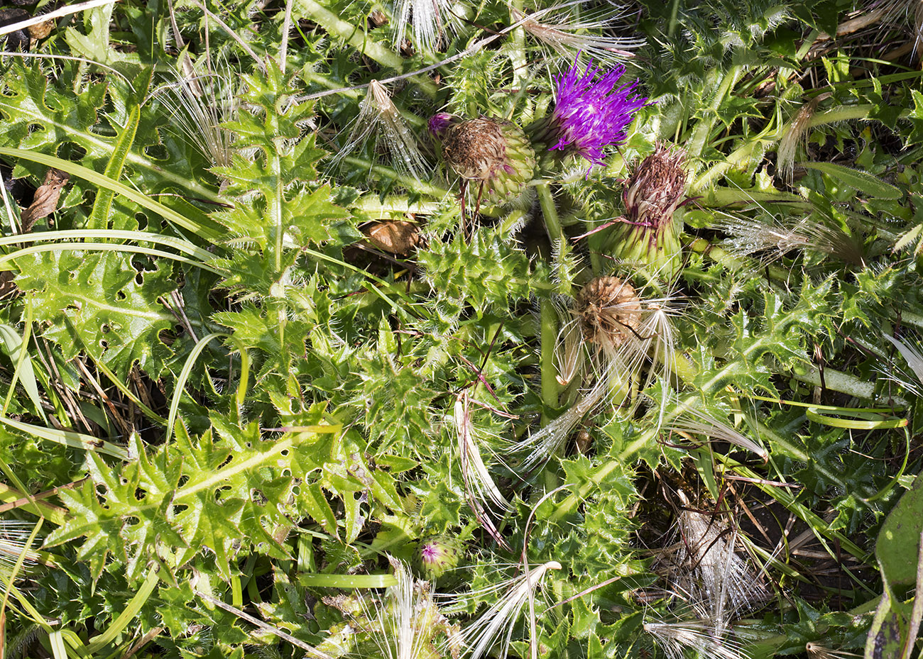 Dwarf Thistle, Cirsium acaule.  Valley sides near Downe, 23 August 2014.
