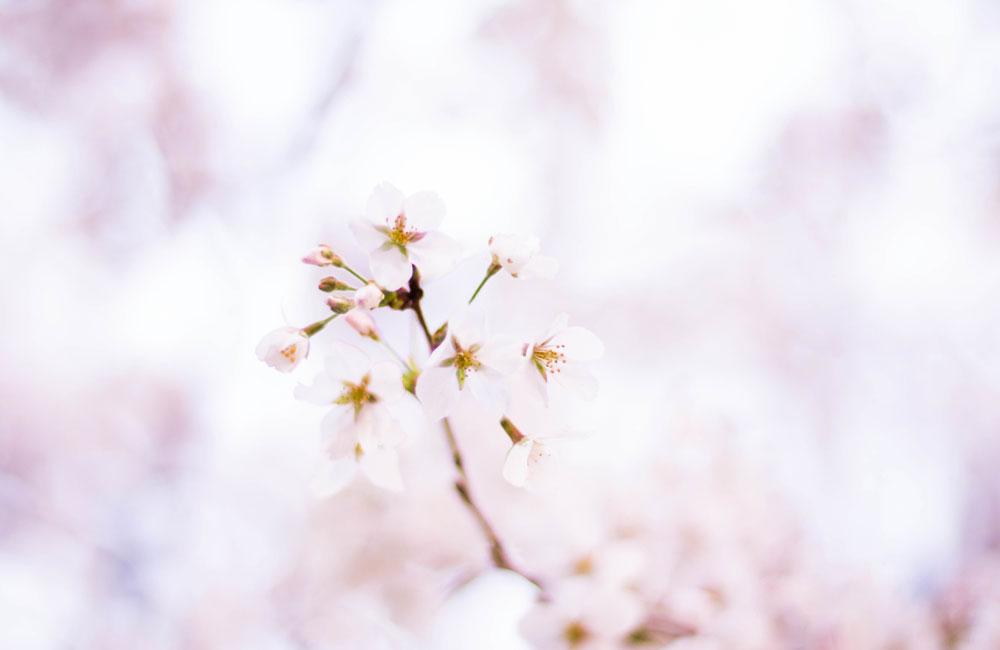 雨の後の桜の写真