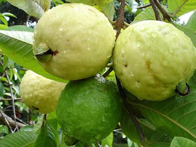 10 فوائد عجيبة لأكل الجوافة