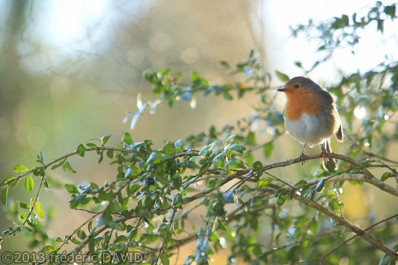 oiseau rouge-gorge fontainebleau Seine-et-Marne