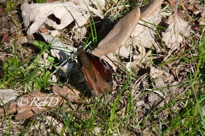 Fjäril med hopfällda vingar. foto: Reb Dutius
