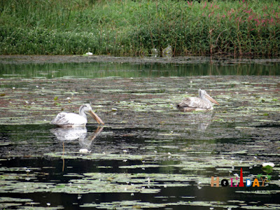Migratory ducks in krishna sagar dam lake - Mysore