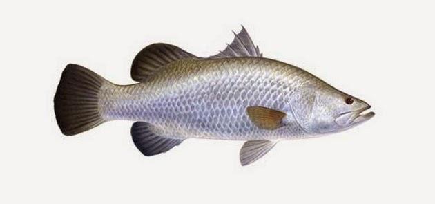begitulah judul artikel  kali ini Begini Mancing Ikan Kakap Putih Atau Barramundi