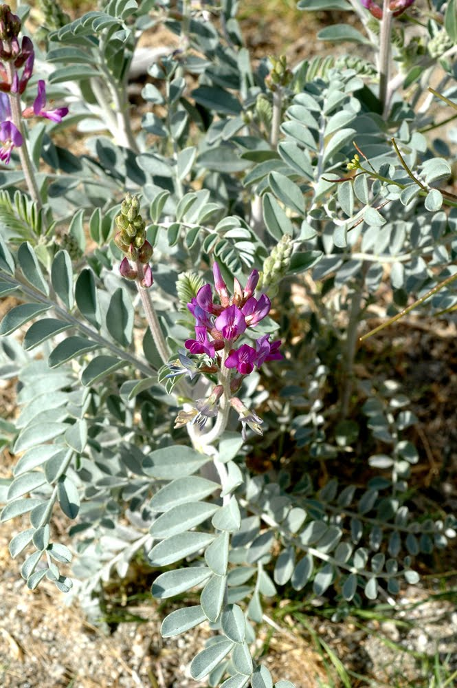 Coachella Valley Milk Vetch Plant 1