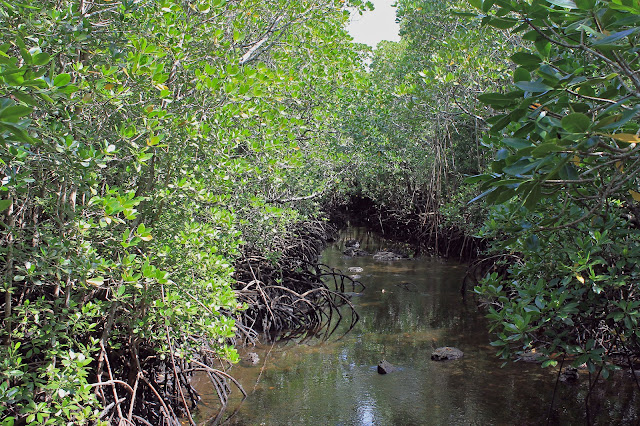 Buy canvas print of Mangrove Swamps