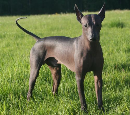 Xoloitzcuintles Extreme Dog Breeds: Me...