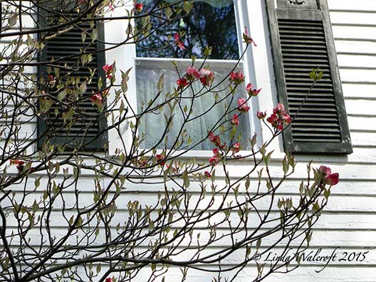 dogwood branches and window