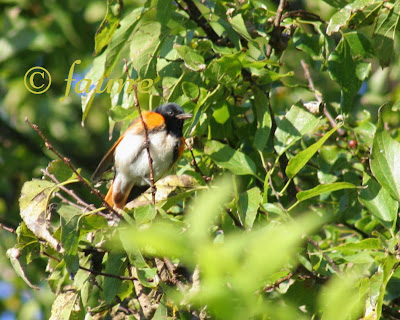 Male American Redstart in migration Currituck