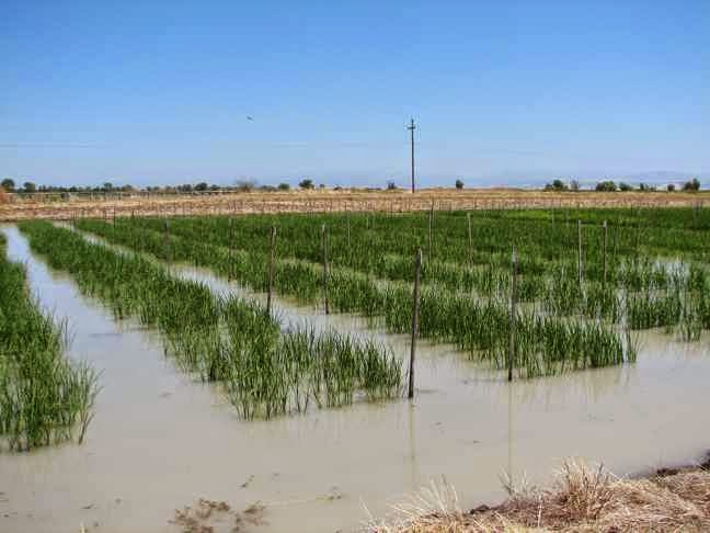 California Rice Paddy Farmers can grow anything in the desert as long as all Californians are forced to subsidize their cheap water
