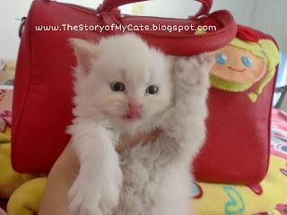 anak kucing putih