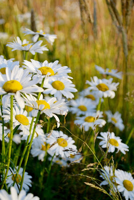 daisies, farm life, nature, photography, flowers, lifestyle, fleur d'elise