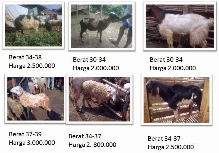 foto domba dan kambing