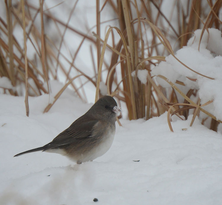 A sweet female Dark-eyed Junco roots in the snow for seeds.