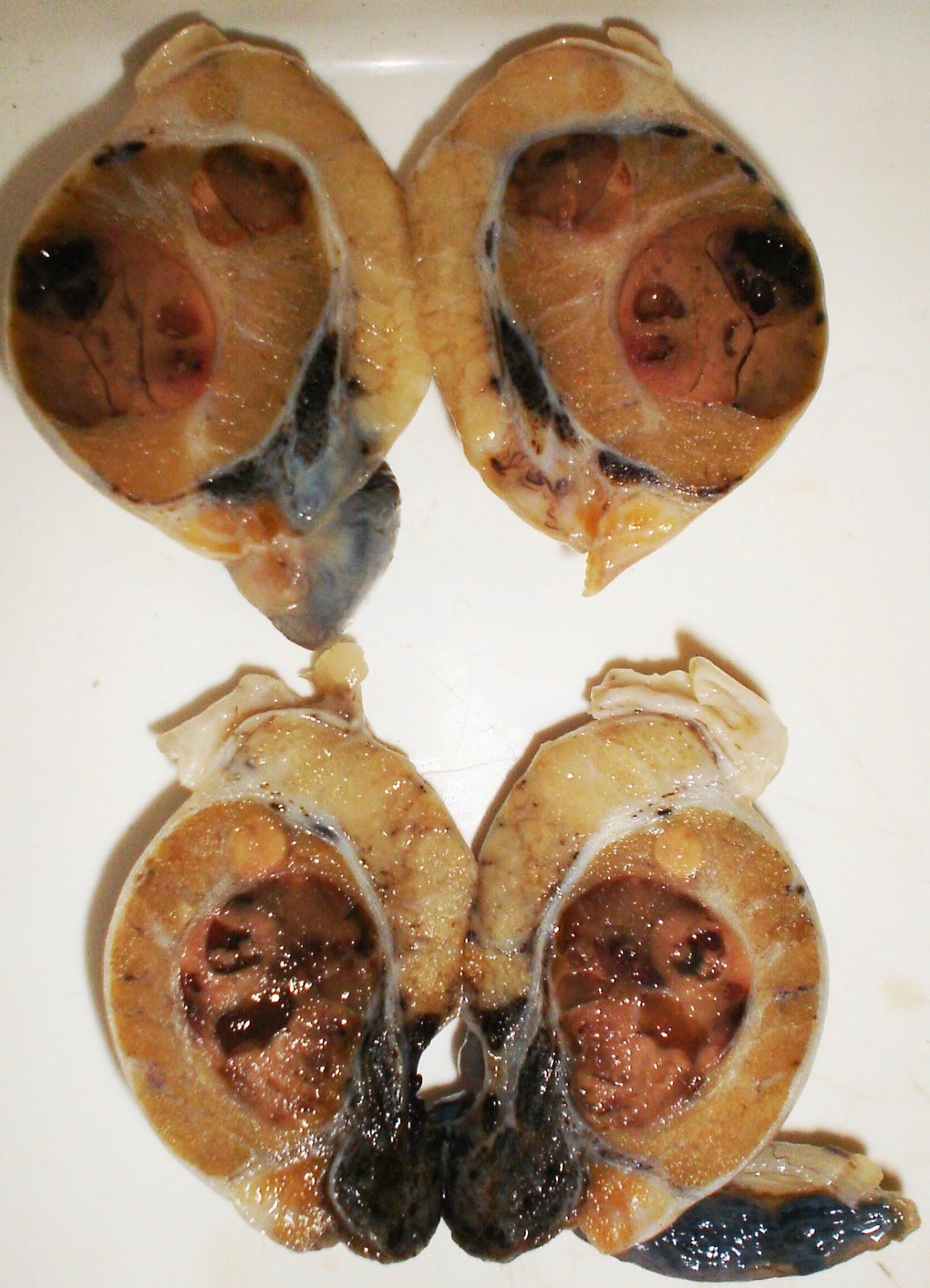 Tumores testiculares | Servicio de Anatomía Patológica Veterinaria
