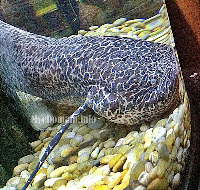 MyeDomain's MyeDomain's Las Farolas, The FISH World - Part 2 /  Marbled African Lungfish
