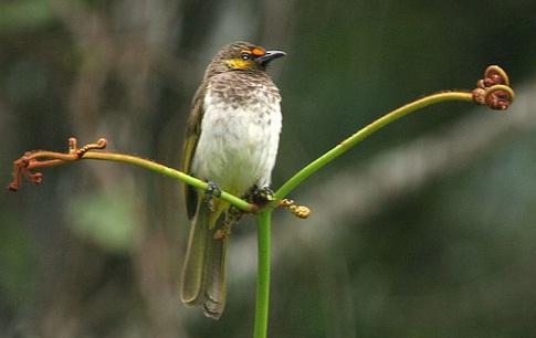 burung rengganis atau cucak wilis merupakan burung pemakan buah dan
