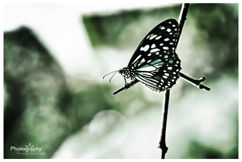 blue_tiger_butterfly