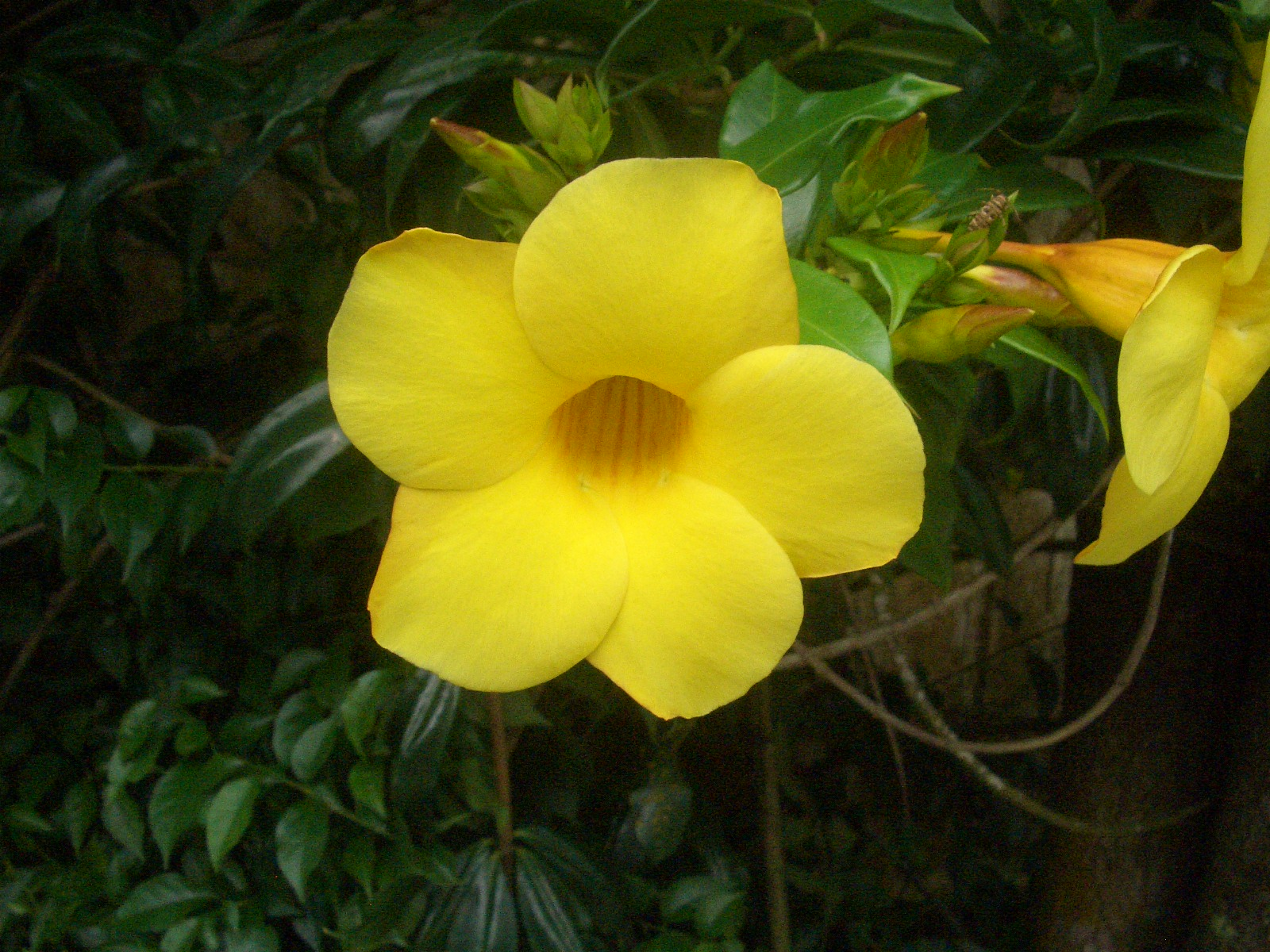 Eileen first interest beautiful plants and flowers yellow bell allamanda also known as yellow bell golden trumpet or buttercup flower is a genus of tropical shrubs or vines belonging to the dogbane family mightylinksfo