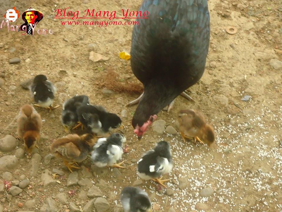 Cara / Tips Mengobati Ngorok Atau Folk Pada Ayam