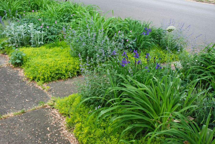 The front curb strip, or Front Woodland, has many more perennials to care it through the seasons. I recently added some catmint divisions here as well. Lamb's ears (Stachys byzantine), daylilies (Hemerocallis fulva), Geraniums, Iris siberica and Allium multibulbosum are also planted here.