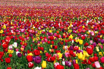 hoa tulip 15