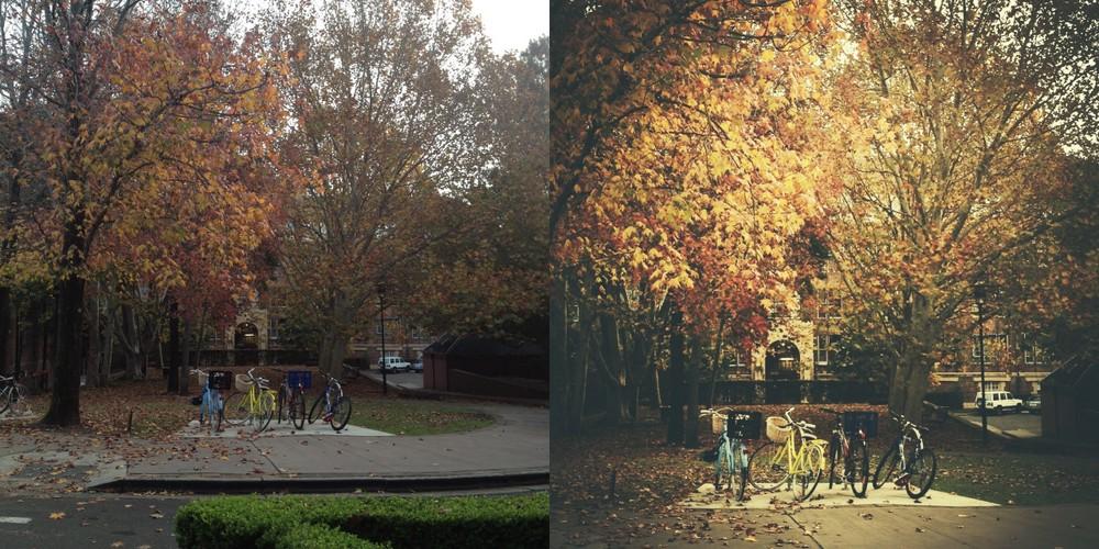bicycles under maple tree