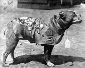 Sergeant Stubby Army Dogs
