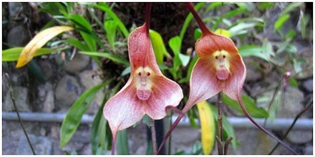 Wajah Monyet Pada Bunga Anggrek