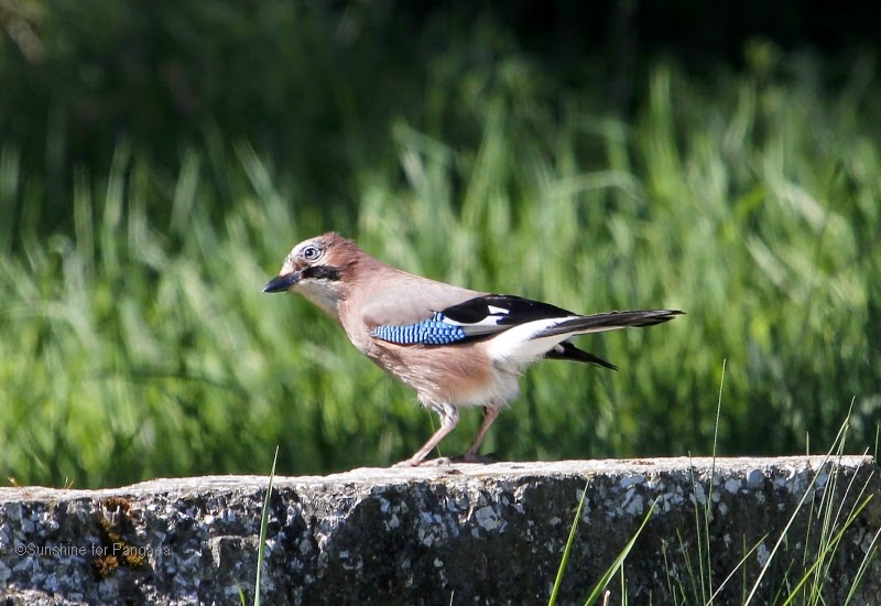 Eurasian jay (Garrulus glandarius) in Germany