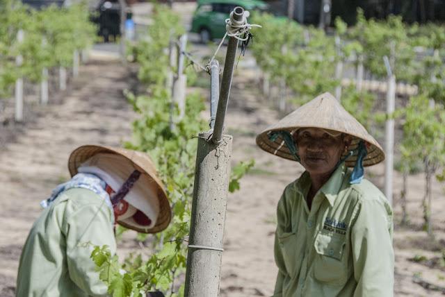 Tham quan vườn nho ở Sea Link, Bình Thuận